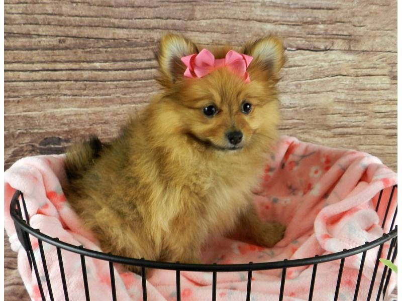 Pomeranian-Female-Orange Sable-3078381-Petland Orlando South