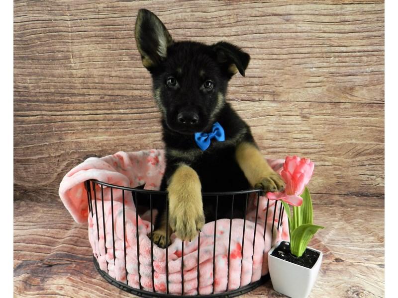 German Shepherd-Male-Black and Tan-3078590-Petland Orlando South