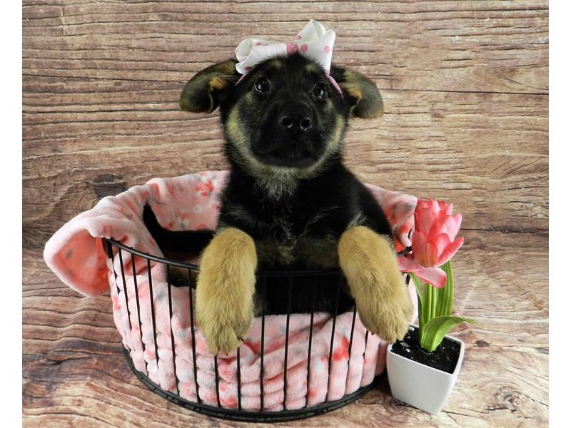 German Shepherd-Female-Black and Tan-3078585-Petland Orlando South