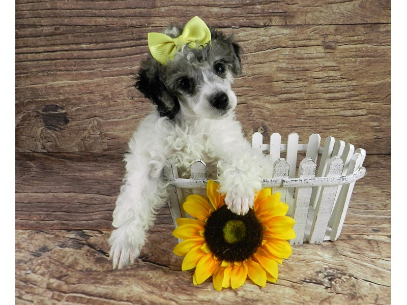 Poodle-Female-White and blue merle parti-3091343-Petland Orlando South