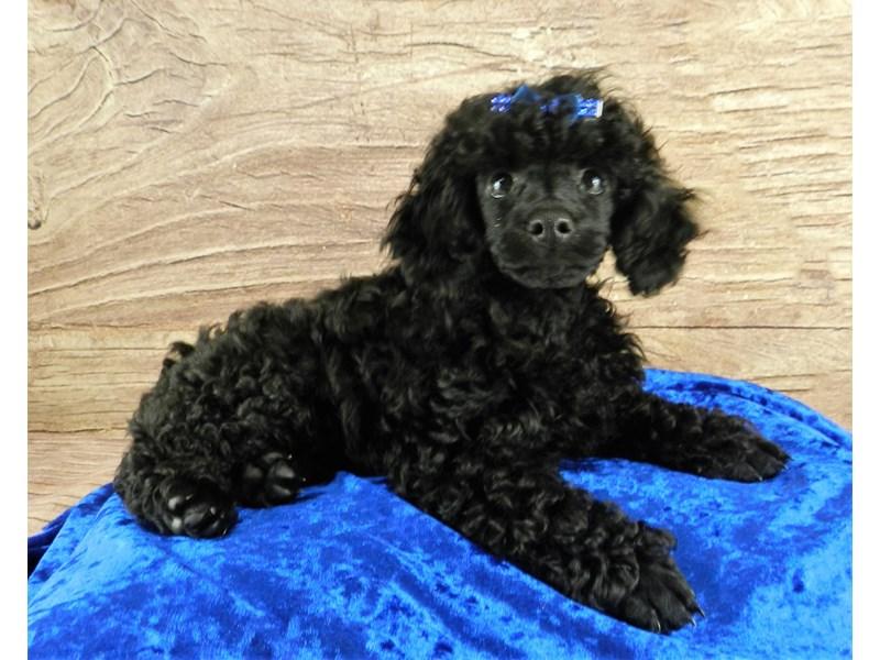 Poodle-Female-Black-3102836-Petland Orlando South