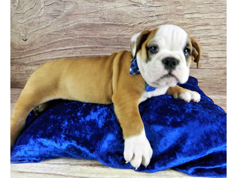 English Bulldog-Male-Red and White-3100476-Petland Orlando South