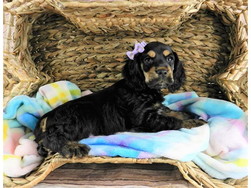 Cocker Spaniel-Female-Black and Tan-3111519-Petland Orlando South